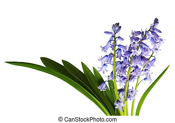 Bluebell Bouquet - Fresh bluebell flowers isolated on white...