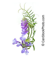 Purple wild Pea Flowers - Purple wild pea flowers on vine...