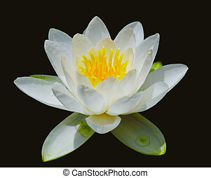 Water Lily - White water lily flowers isolated on black
