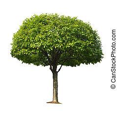 třešeň, strom