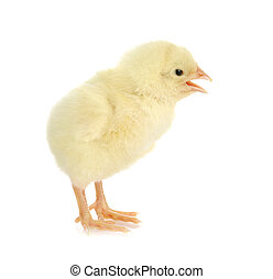 chirping chick - newborn chick chirping isolated on white...