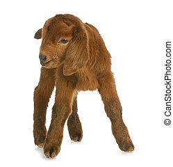 bebê, cabra, ou, criança