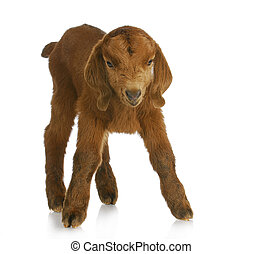 baby goat - four day old South African Boer kid standing on...