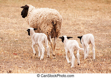Ewe with three lambs walking away from viewer - Female...