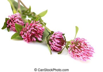 Red Clover - Bundle of Red clover Trifolium Pratense flowers...