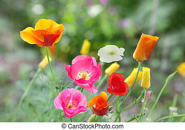 Poppy Flowers - Beautiful poppy flowers in different colors...