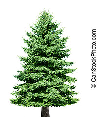 Pine Tree - Single pine tree isolated on white background