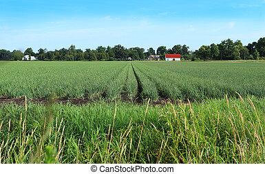 Onion on the farm land