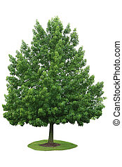 Maple Tree - Single maple tree in the summer time isolated...