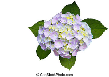 Hydrangea Homigo - Hydrangea Homigo flower isolated on white...