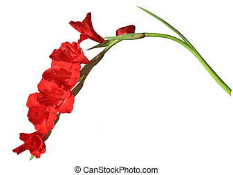 Gladiolus Flower - Fresh Gladiolus flower isolated on white...