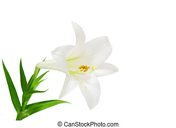 Easter Lily - Lilium longiflorum easter lily flower isolated...