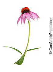 Coneflower - Echinacea purpurea coneflower Flower isolated...