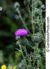 Bull Scotch thistle Flower - Bull scotch thistle Cirsium...