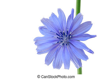 Chicory. Cichorium intybus flower head isolated on white