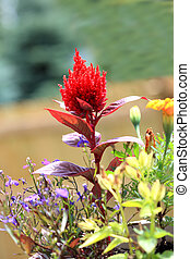 Celosia Plumosa - Red Celosia plumosa flower standing out...