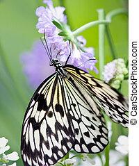Paper Kite Butterfly - Butterfly in captivity