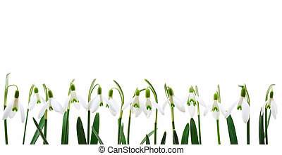 Group of snowdrop flowers growing in row, isolated on white...