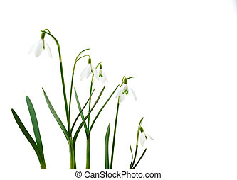 Group of growing snowdrop flowers isolated on white...