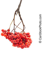 Rowan isolated on a white background