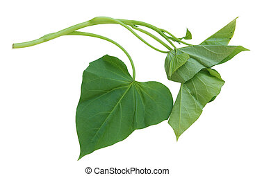 Potato Leaf - Single branch of sweet potato leaves Belacan...