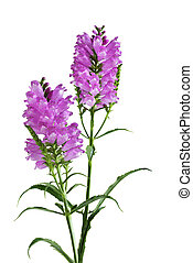 Obedient Flower Plant isolated on white background