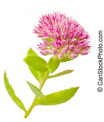 Sedum - Summer Glory autumn joy sedum flower isolated on...