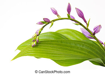 Purple Hosta - Purple hosta flowers on branch and leaves