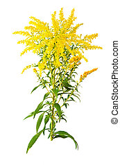 Great Goldenrod Flower - Solidago gigantea great goldenrod...