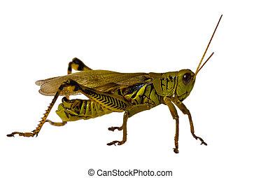 Grasshopper - Green grass hopper isolated on white...