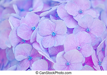 Hortensia Background - Close up of an hortensia flower for...