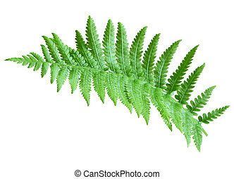 Fern - Single fresh fern isolated on white background