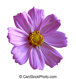 Single Cosmos - Single fresh cosmos flower isolated on white...
