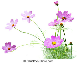 Cosmos flower plant in the garden isolated