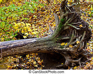 Uprooted Tree - Dead uprooted maple tree in the forest