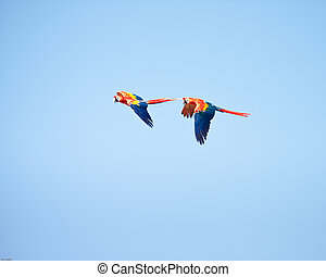 Macaws flying with a blue sky as background