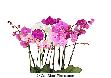 Orchid Plants - Orchid flower plants isolated on white...
