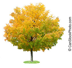 Maple Tree - Single maple tree in the autumn isolated on...
