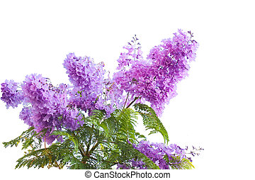 Jacarandas - Lavender Blue jacarandas flower isolated on...