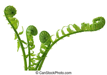 Ferns - Group of curly ferns isolated on white background