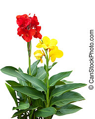 Mix Canna - Red and yellow Canna flower plants isolated on...