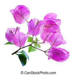Bougainvillea - Branch of bougainvillea flowers isolated on...