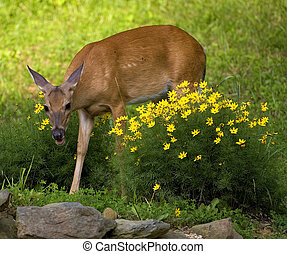 gardening doe - whitetail doe that's in the middle of a...