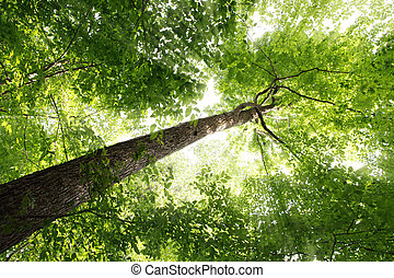 Sunbeam and Tree - Sunbeam through elm tree in the forest