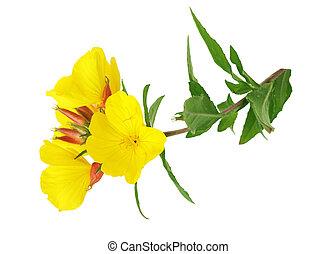 Primrose - yellow evening primrose Sundrop oenothera...