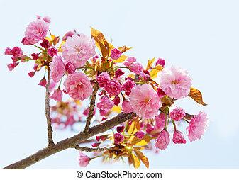 粉紅色, 櫻桃