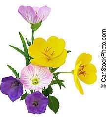 Multi color Primrose - Southern Sundrops Oenothera fruticosa...