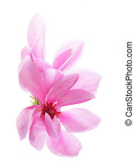 Magnolia - Shallow focus of magnolia flowers isolated on...