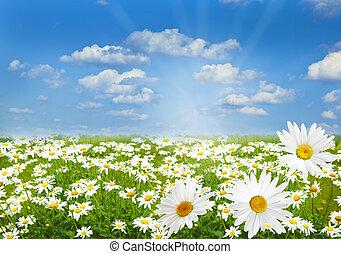 Daisy marguerite field - White Chamomile marguerite daisy...