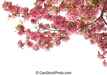 Cherry Blossom - Cherry blossom in the spring over white...